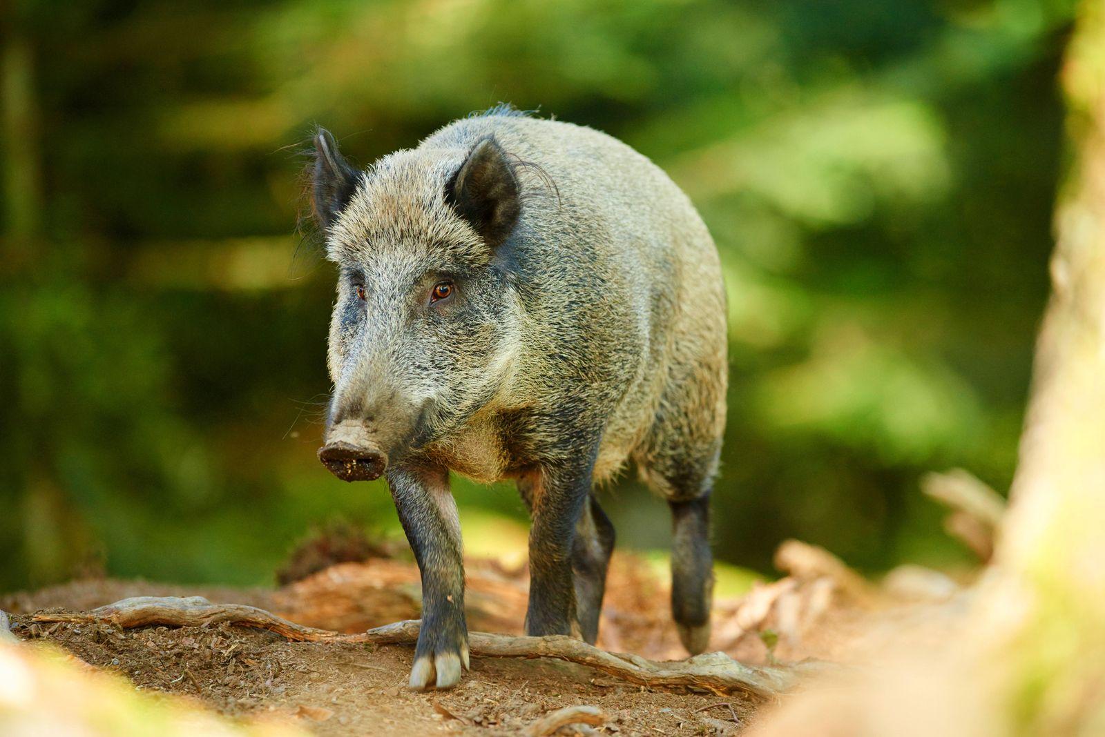 Wildschwein, Wild-Schwein, Schwarzwild, Sus scrofa, wild boar, pig, wild boar