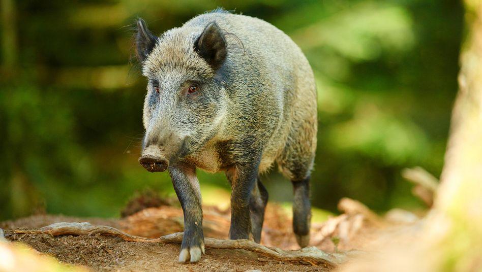 Wildschwein in Bayern (Archiv): Erhöhte Messwerte sind keine Seltenheit
