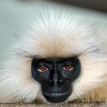 Affe: Was wäre, wenn wir eine Chimäre erschaffen würden, die zur Hälfte aus Menschen- und zur Hälfte aus Schimpansenzellen bestünde?