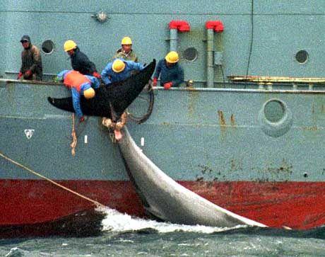 Japanische Walfänger: Tokio will ein Ende des Walfangverbots zu kommerziellen Zwecken erreichen