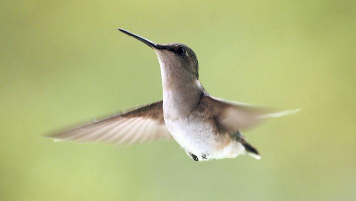 Buhlende Kolibris: Schwanzgesteuerter Gesang