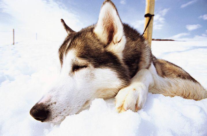 Schlittenhund in Laxforsen: Bei der Fütterung ist das Geheule groß