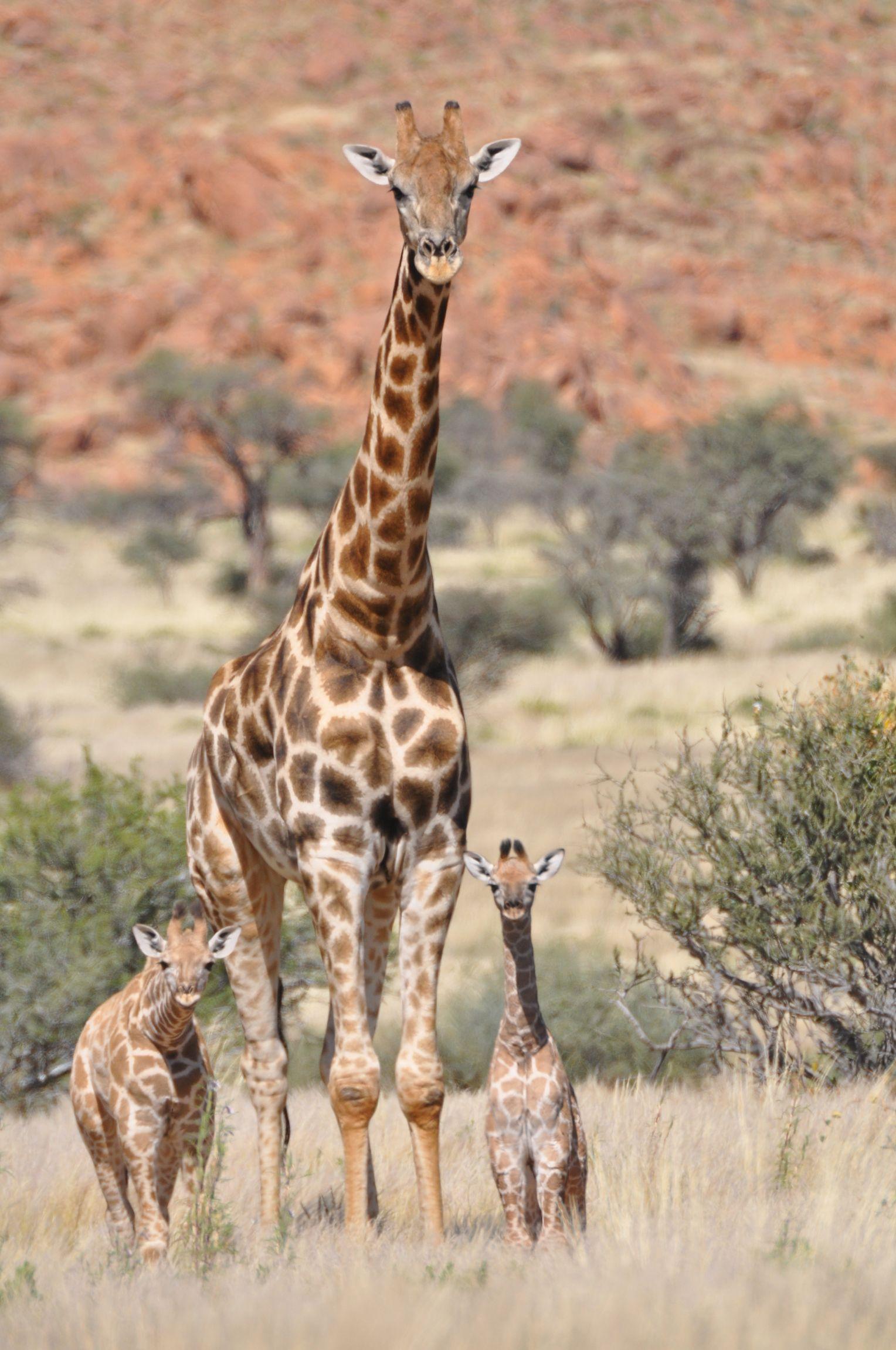 Giraffenarten