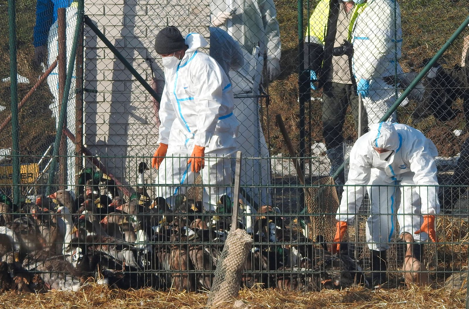 The poultry are culled by the veterinarians in Horni Cerekev, Czech Republic, on Saturday, February 20, 2021. Bird flu i