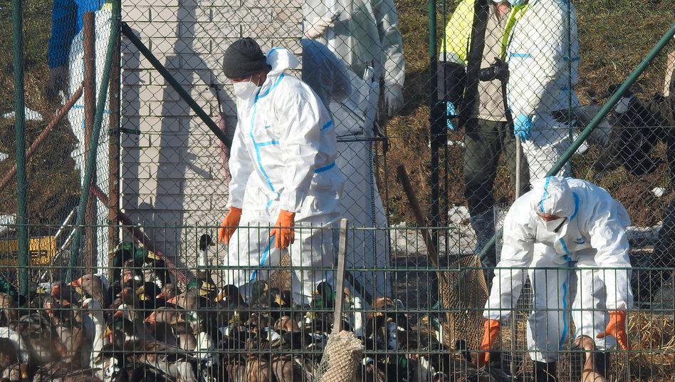 Alle Tiere werden gekeult: Geflügelpest in einem Betrieb in Tschechien