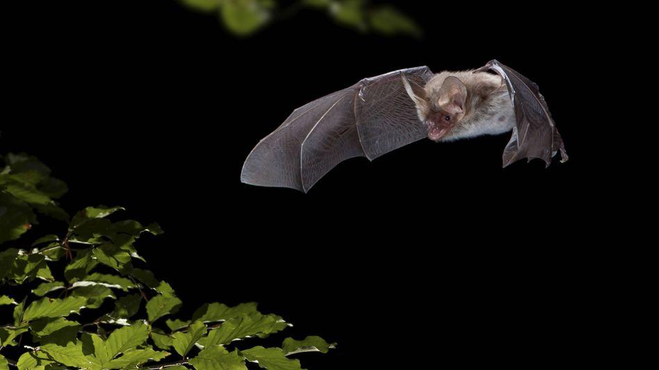 """Fledermaus (Symbolbild): """"Woher wollen Sie wissen, welches Tiervirus das Risiko für eine neue Epidemie birgt?"""""""