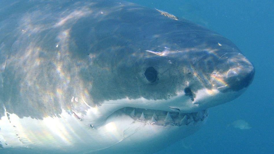 Weißer Hai vor der südafrikanischen Küste (2010): Tödliche Nachfrage in Asien