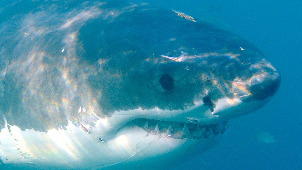 Gefürchtete Raubfische: Weißer Hai, Bullenhai, Tigerhai