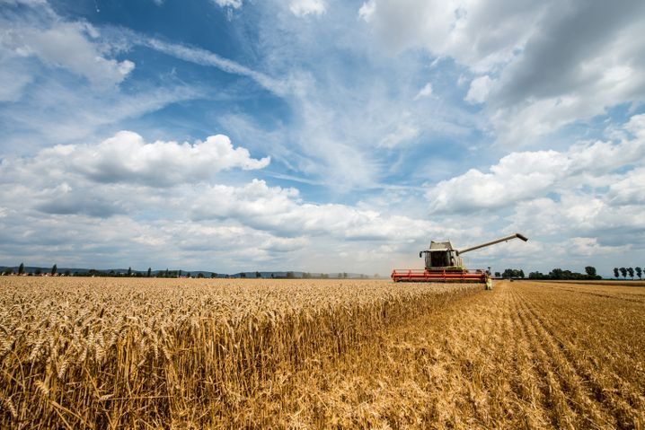 Weizenernte (Archiv): Mehr Ertrag, weniger Nährstoffe