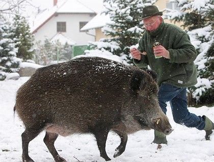 Wild boars can be dangerous and terrifying. Even city-dwellers are threatened.