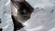 Ministerien streiten über 18 tote Schweinswale