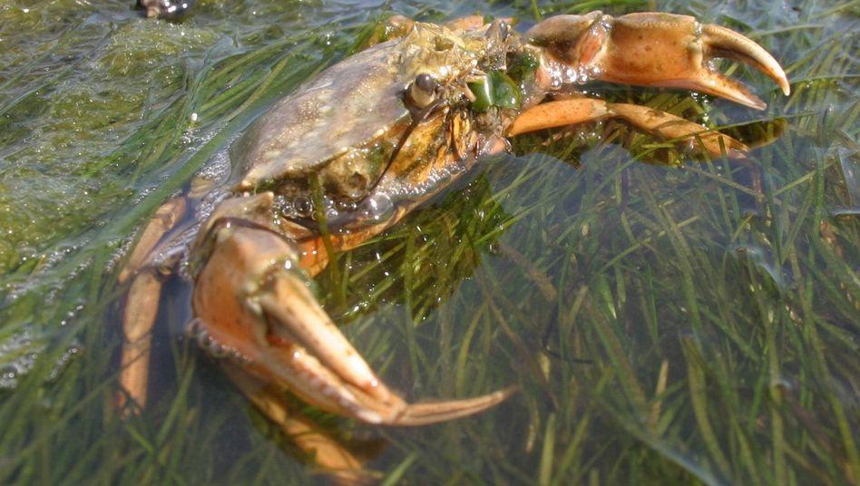 Strandkrabbe im Wattenmeer vor Sylt: Der perfekte Ton