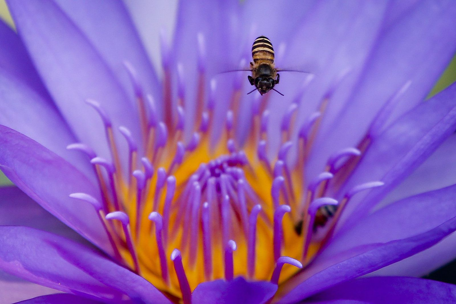 Biene/ Blume/ Bestäubung