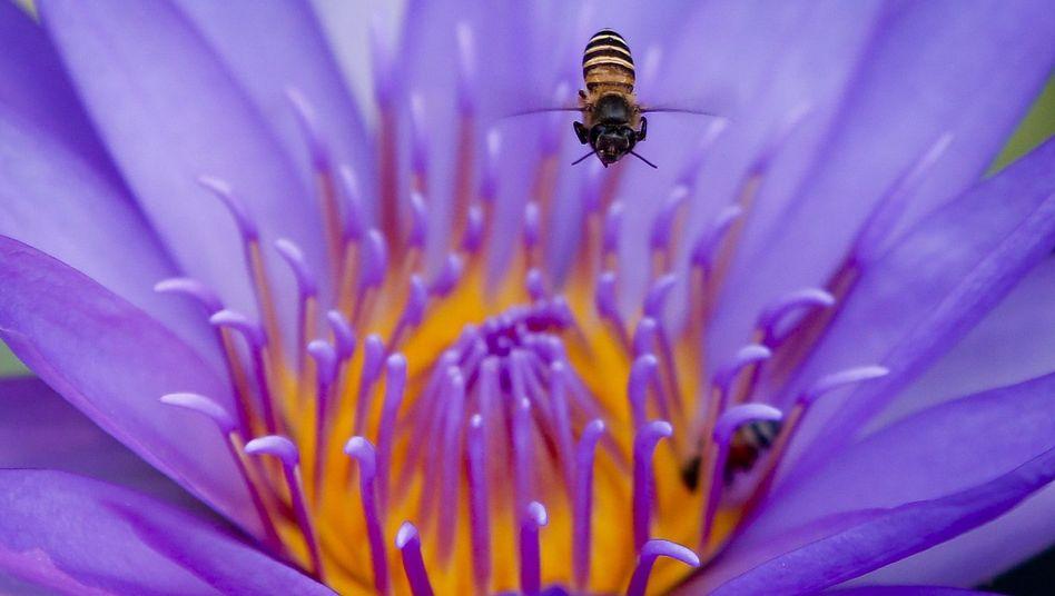 Asiatische Honigbiene: Wichtiger Bestäuber