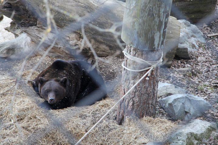 Die Braunbären des Freilichtmuseums Skansen haben einen Winter ohne Besucher vor sich