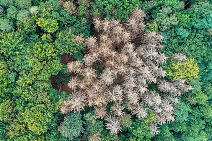 Abgestorbene Fichten in einem Wald im brandenburgischen Landkreis Märkisch-Oderland