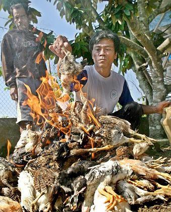 Verbrennung infizierter Hühner in Indonesien: Enger Kontakt zwischen Tier und Mensch