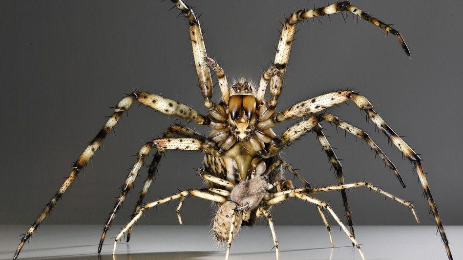 Wespenspinnen bei der Paarung (Modell): Nur sechs Sekunden Zeit, um zu flüchten