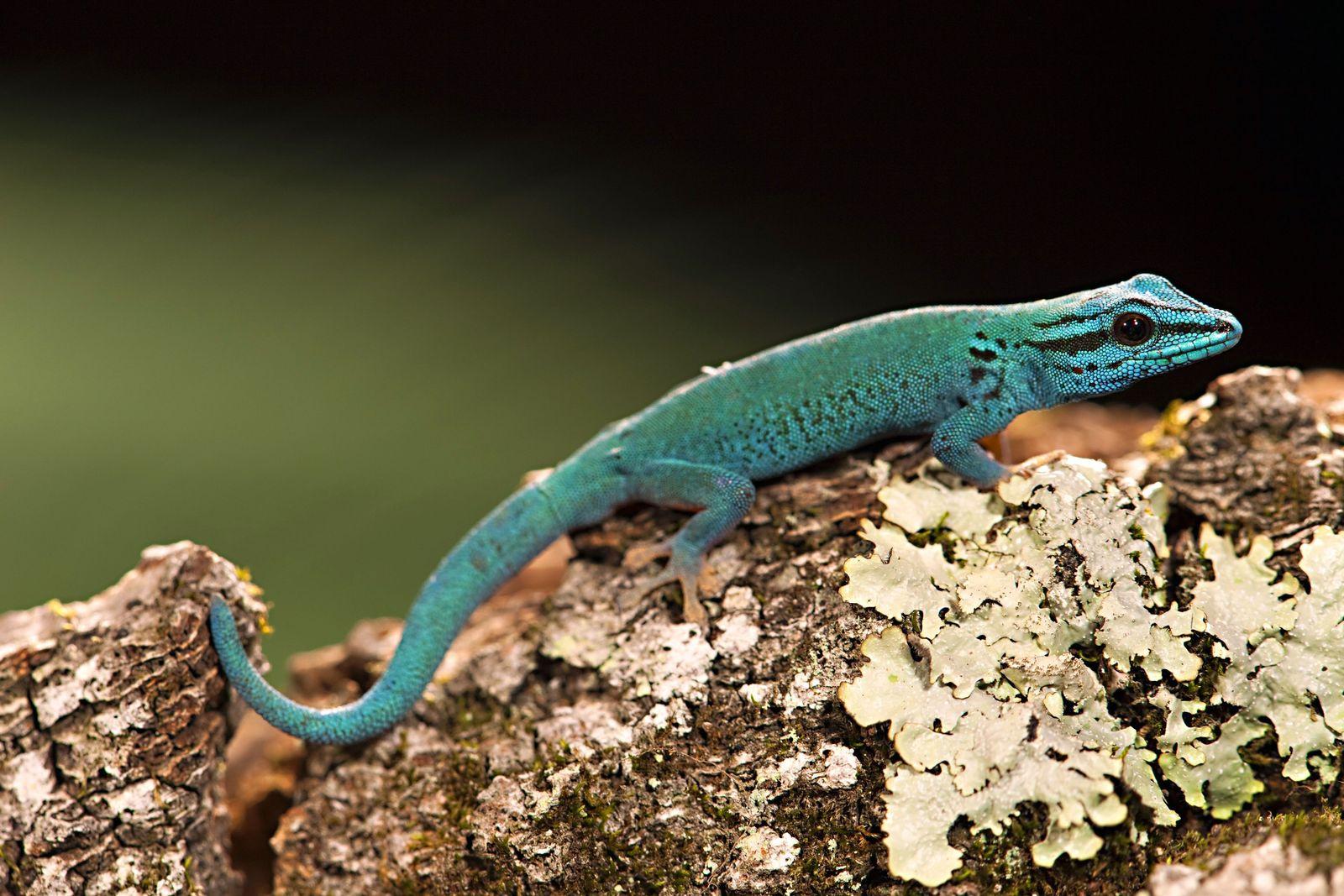 NICHT MEHR VERWENDEN! - Lygodactylus williamsi / Gecko