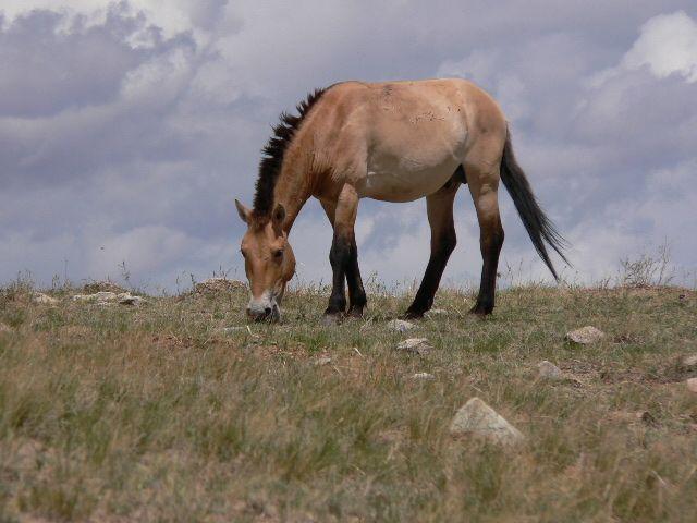 """""""Wild""""-Pferde/ Przewalski-Pferd"""
