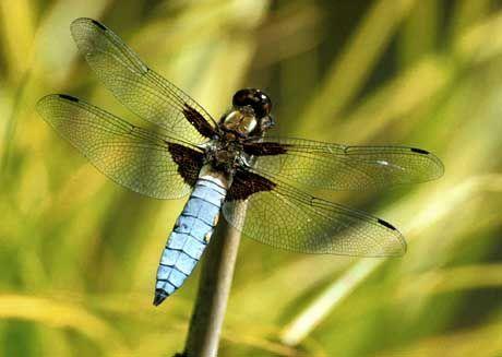 Insekt des Jahres: Die Plattbauch-Segellibelle