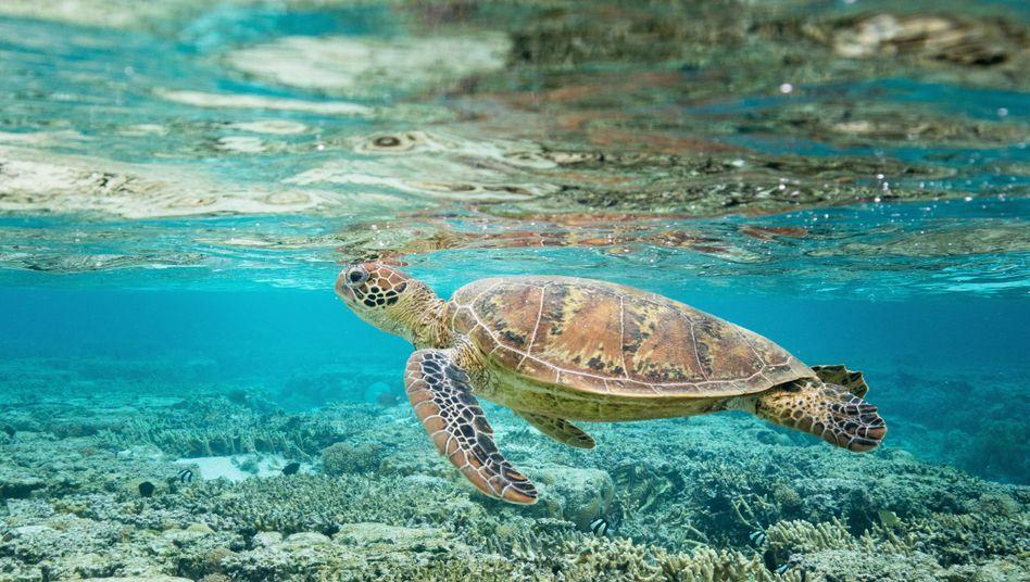 Grüne Meeresschildkröte am Great Barrier Reef: Größtes von Lebewesen erschaffene Bauwerk unseres Planeten