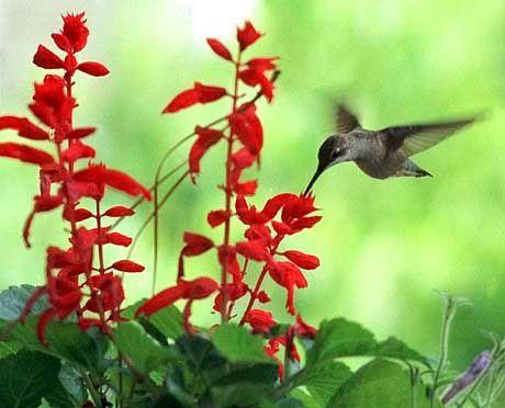 Präziser Schwirrflug: Kolibris kombinieren die Flugkünste von Insekten und Vögeln