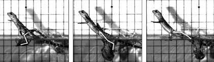 Laboraufnahme der Eidechse: Stabiler Lauf dank seitlicher Kräfte