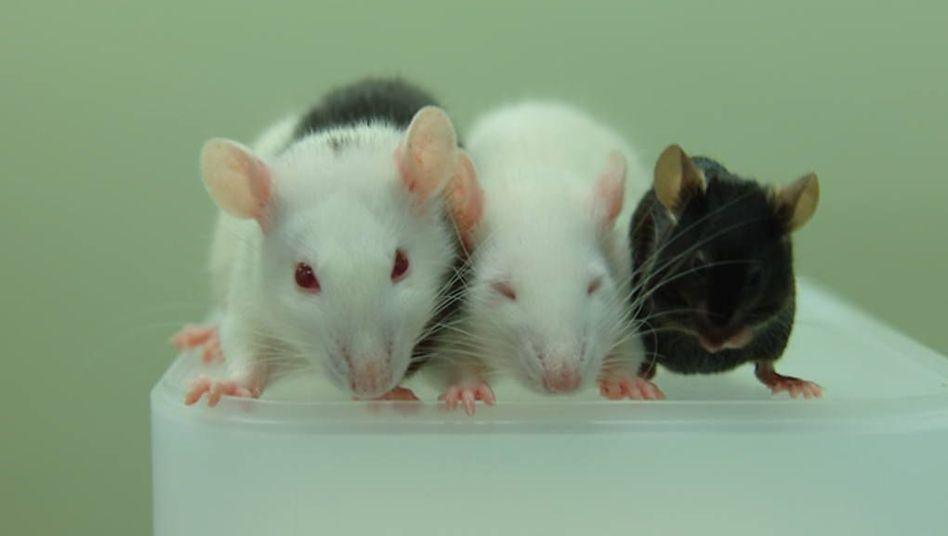 Versuchstiere aus dem Nakauchi-Labor: Ratten-Maus-Chimäre, Laborratte, Labormaus