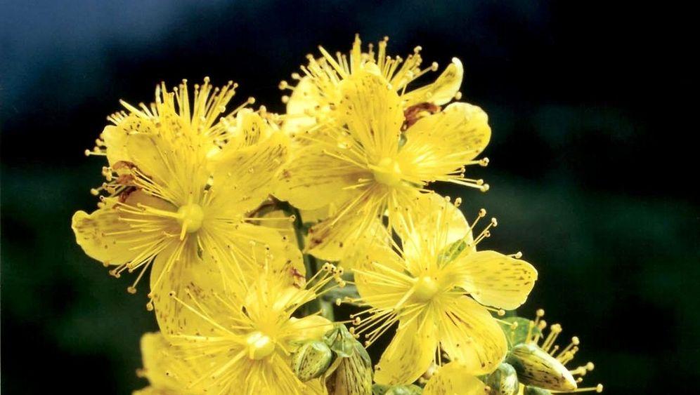 Johanniskraut: Wundermittel mit Tücken