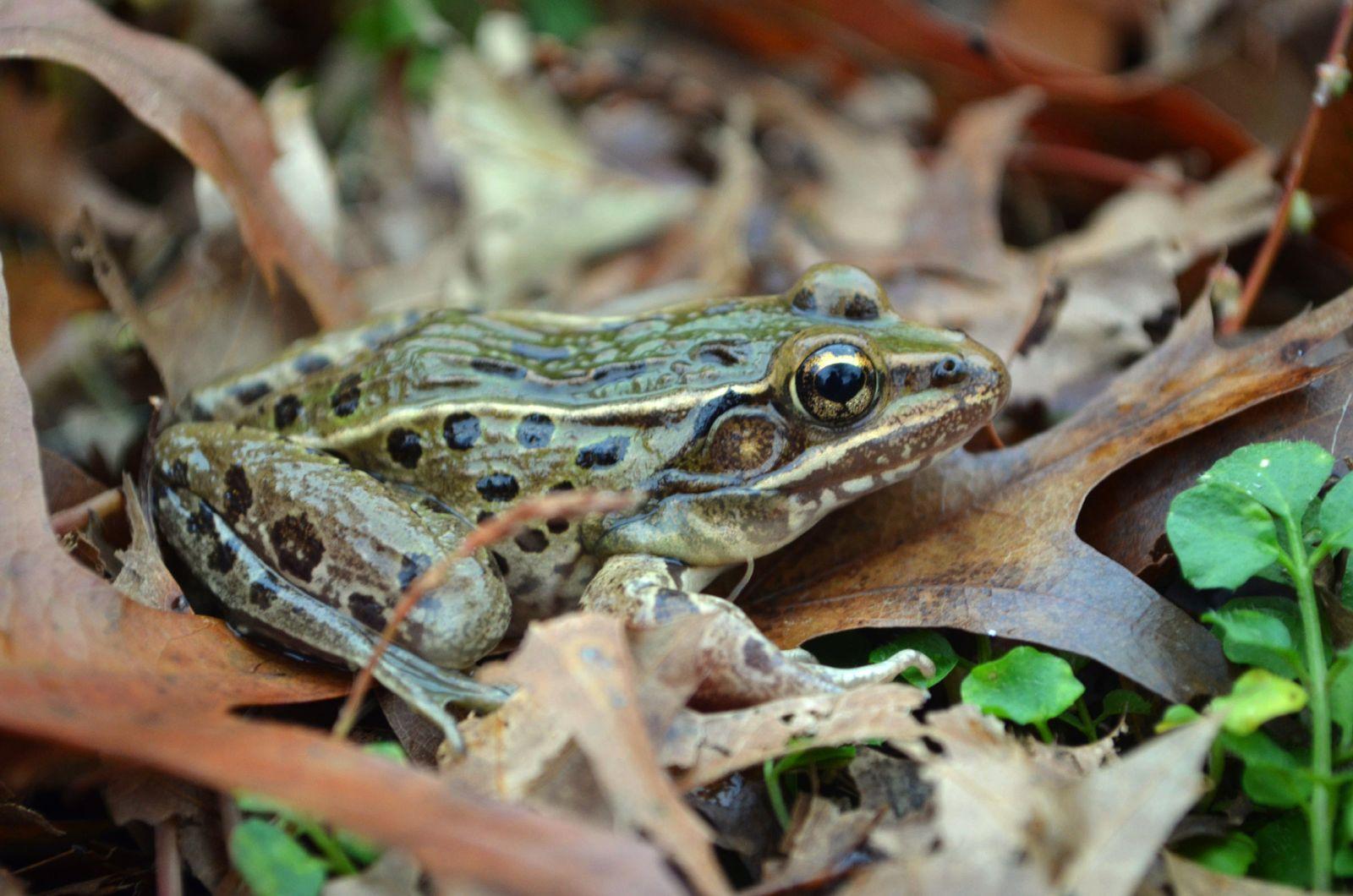Neue Frosch-Art NY