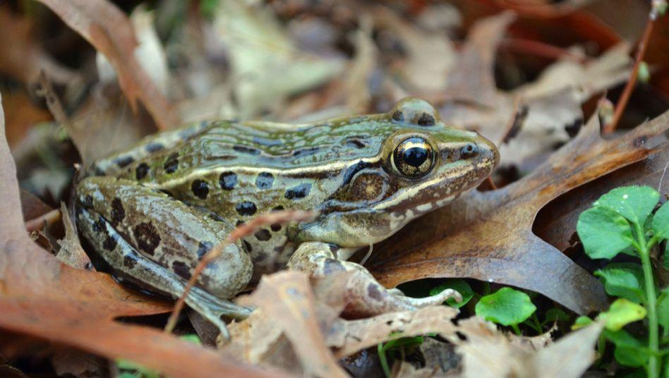Auf Staten Island zuhause: Mitten in (New York) hüpft eine neu entdeckte Froschart