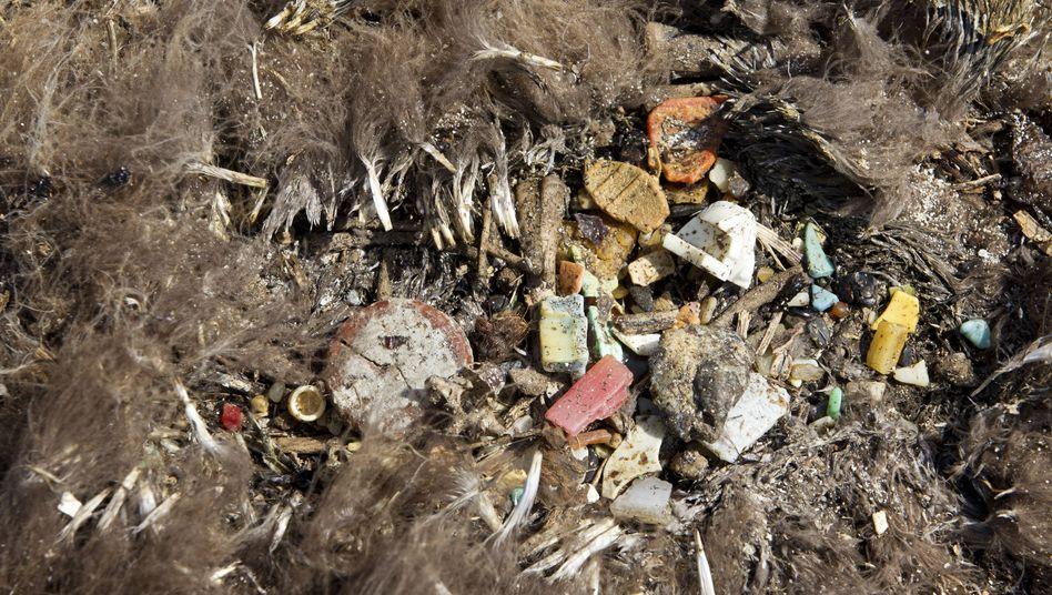 Müll aus dem Albatrossbauch: Einige Tiere verhungern, weil das Plastik ihren Verdauungstrakt verstopft