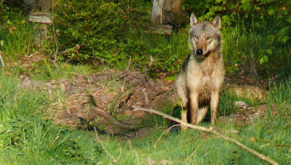Wolf (im hessischen Reinhardswald, 2008): Mehr als 30 Rudel in Deutschland
