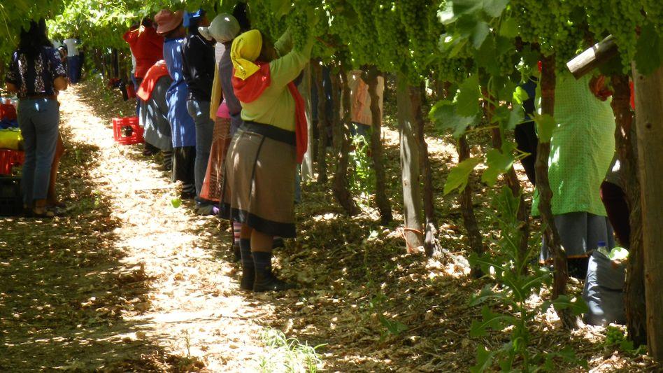 Traubenplantage in Südafrika