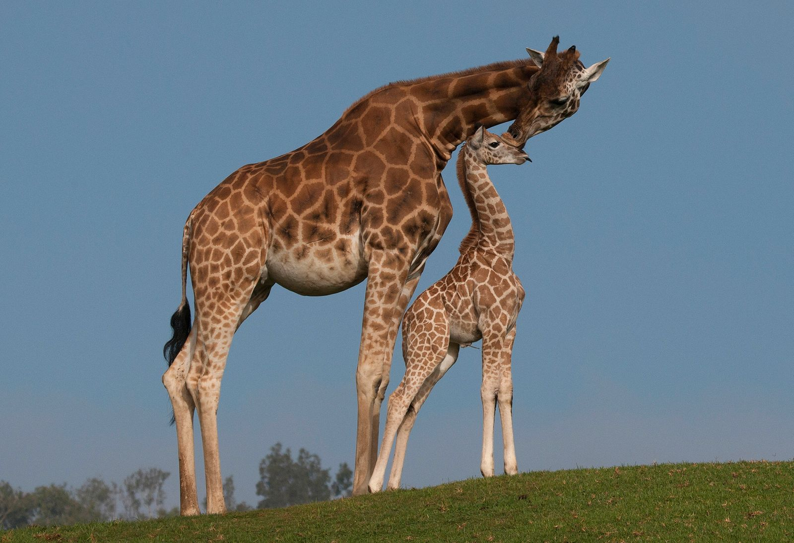 US-ANIMALS-Z00-GIRAFFE