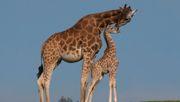 Zoo erstellt Notschlachtplan für seine Tiere
