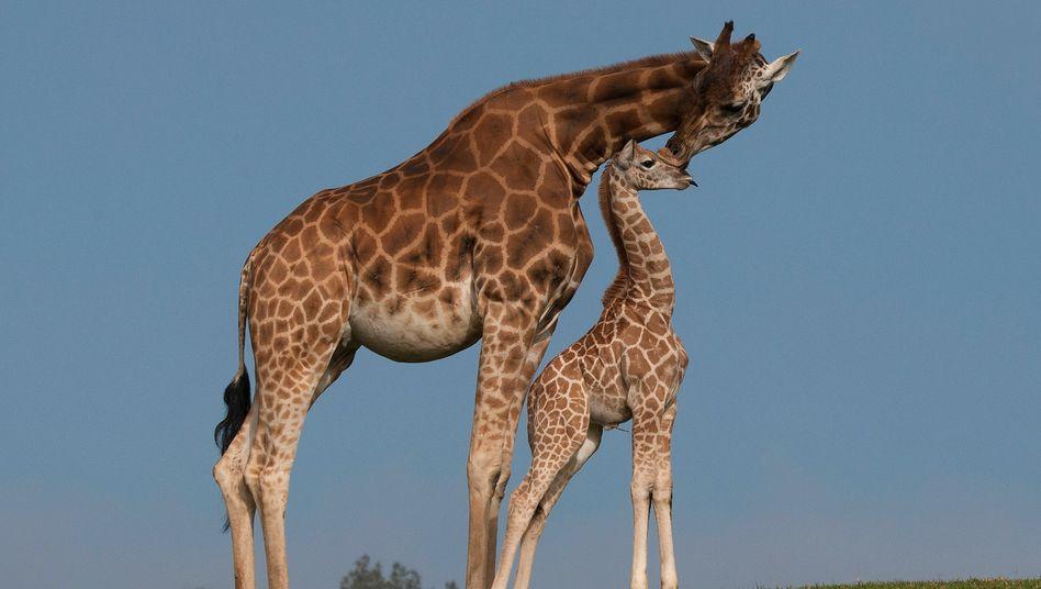 Giraffen im Zoo (Archivfoto)