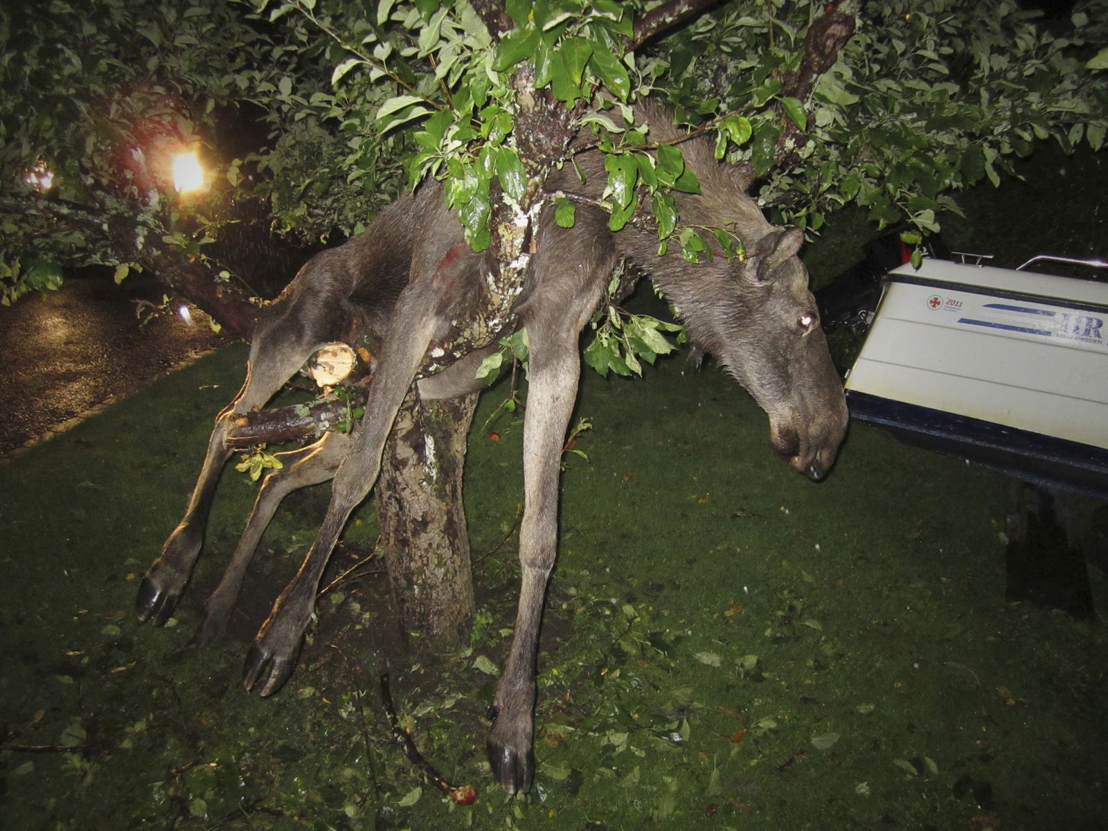Betrunkener Elch im Baum
