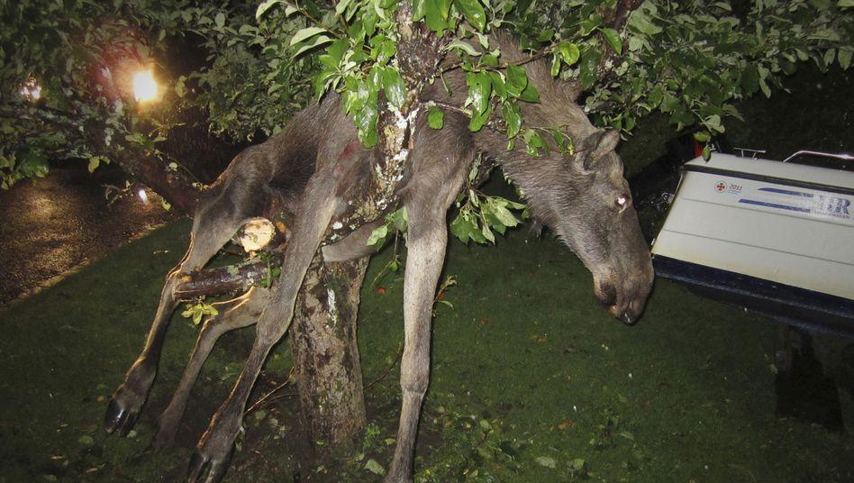 Elch in Apfelbaum: Erst die Polizei konnte das Tier retten