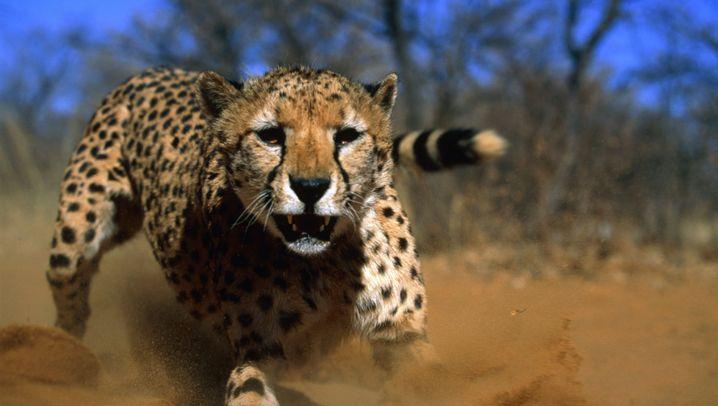 Geparden: Da fehlt was im Gen-Mix