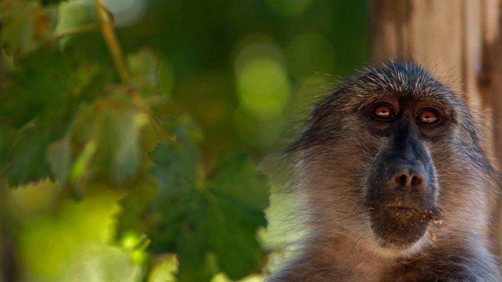 Traubendiebe: Paviane in Südafrikas Weinbergen
