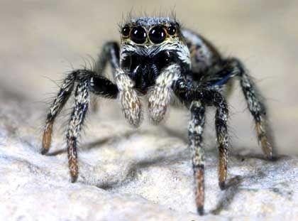 Zebraspringspinne: Die Spinne des Jahres 2005