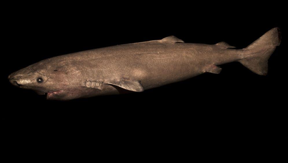 400 Jahre alte Grönlandhaie: Das älteste Wirbeltier der Welt