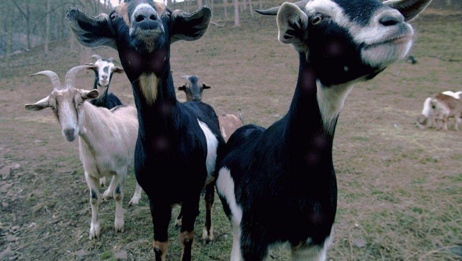Ziegen: Züchter der Tiere stellten spezialisierten Wirtschaftszweig im frührömischen Jerusalem