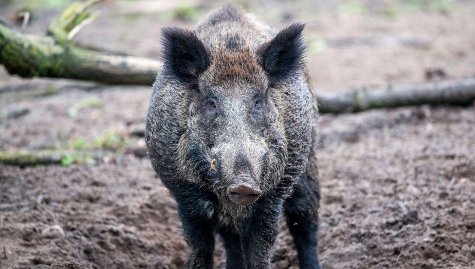 Wildschwein (Symbolbild)