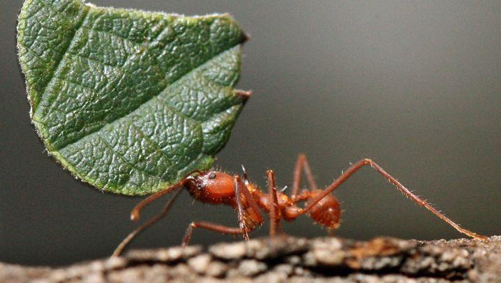 """Ameisenforschung: """"Wir nennen es Superorganismus"""""""