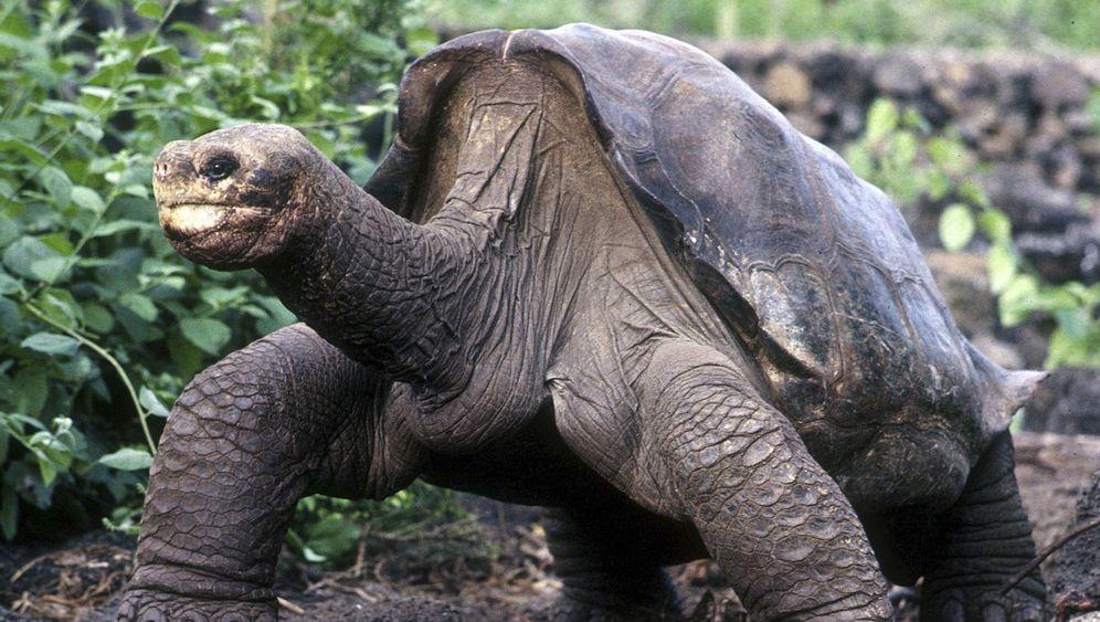 Galapagos-Riesenschildkröte George: Der letzte seiner Art