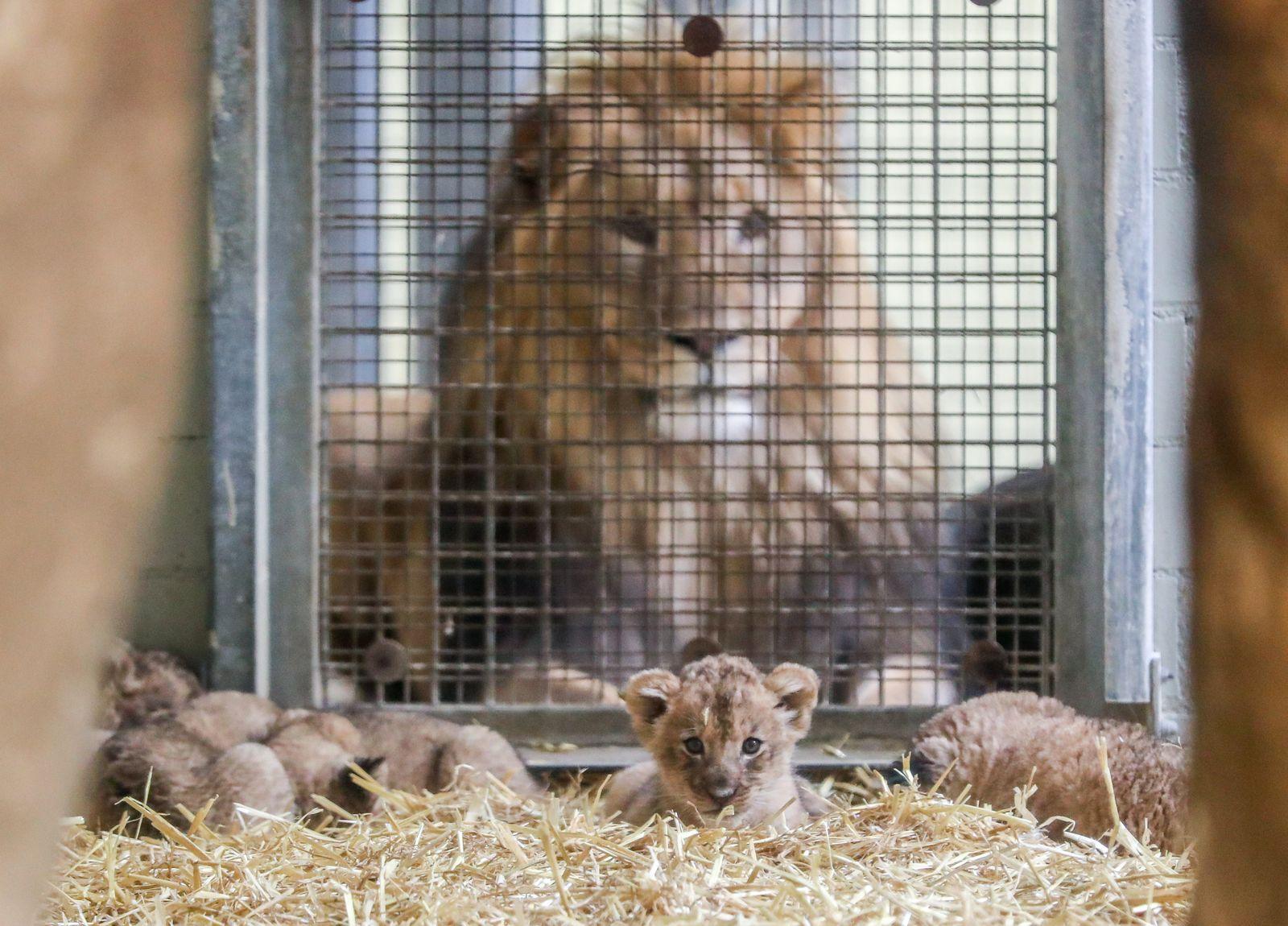 Fünf Löwenbabys im Leipziger Zoo