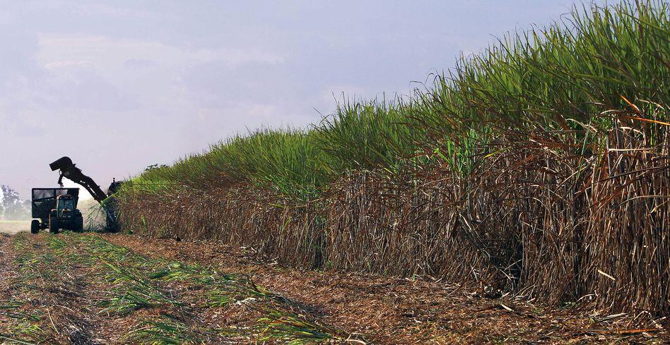 Zuckerrohr-Ernte in Brasilien: Mais-Gen könnte Biosprit-Produktion effizienter machen